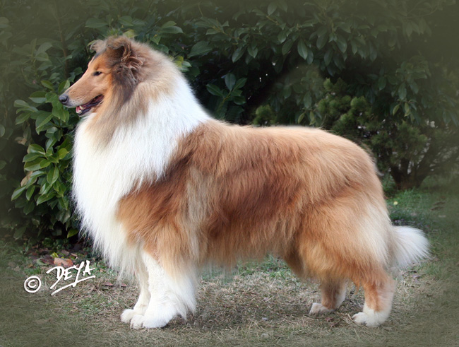 Best Rough Collie Westminster Dog Show